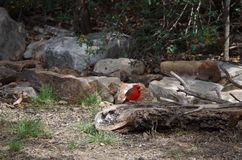 Kardinal på den South Llano River delstatsparken Royaltyfria Bilder