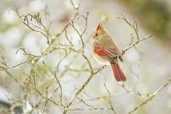 Kardinal på en sittpinne under en snöig dag Royaltyfri Fotografi