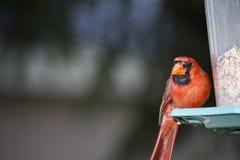 Kardinal på förlagemataren Arkivbild