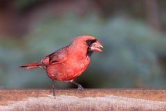 Kardinal på förlagemataren som äter frö Royaltyfria Bilder