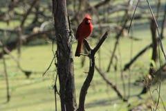 Kardinal på träd Royaltyfria Bilder