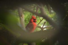 Kardinal-rullgardiner Royaltyfri Foto