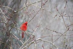 Kardinal som sätta sig på filial i snö Arkivfoton