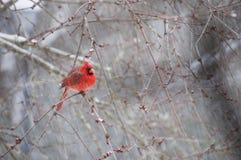 Kardinal som sätta sig på filial i snö Arkivbilder