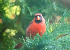 Kardinalen ser jag dig Fotografering för Bildbyråer