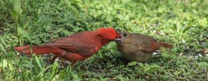 Kardinalmatningar 2 Fotografering för Bildbyråer