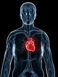kardiovaskulärt system Arkivbild