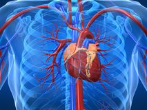 kardiovaskulärt system Arkivfoto