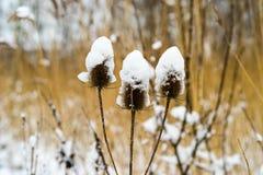 Kardtistel som täckas med snö Arkivfoton