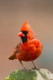 kardynał Zdjęcie Royalty Free
