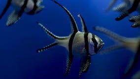 kardynał banggai ryb zbiory