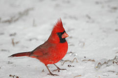 kardynał północnej Zdjęcia Stock