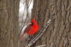kardynał północnej Fotografia Royalty Free