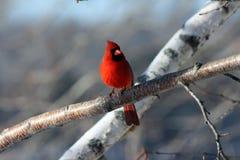 kardynał północnej Obrazy Stock