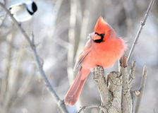 kardynał północny Obraz Stock