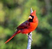 kardynał północny fotografia stock