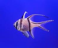 Kardynał ryba Zdjęcia Stock