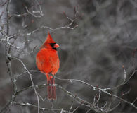 kardynał umieszczał Zdjęcie Stock
