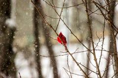 Kardynał Umieszczający Podczas Śnieżnej burzy Zdjęcia Royalty Free