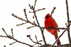 kardynał obraz stock
