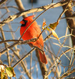 kardynał 5 Obrazy Royalty Free