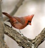 kardynał Fotografia Royalty Free