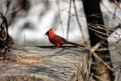 kardynał Zdjęcie Stock