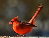 kardynały Zdjęcie Stock