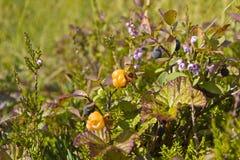 Karelia. Hummock with berries. At the swamp Royalty Free Stock Image