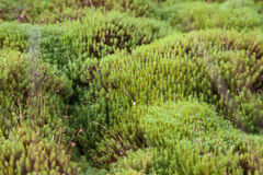Karelia, sphagnum palustre. Sphagnum palustre grows in the north and is a kind of moss Stock Photo