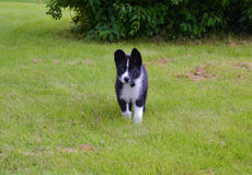Karelian Bear Dog Royalty Free Stock Photography