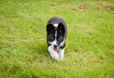 Karelian Bear Dog royalty free stock image