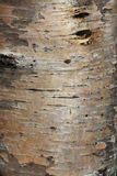 Karelian birch bark Royalty Free Stock Photography