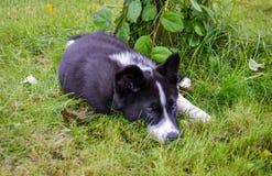 Karelian björnhund fotografering för bildbyråer