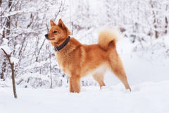 Karelian red dog on the snow Royalty Free Stock Photos