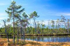 Karelian swamp with lake in evergreen wood Stock Photos