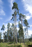 Karelische Kiefern Lizenzfreies Stockfoto