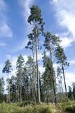 Karelische pijnbomen Royalty-vrije Stock Foto
