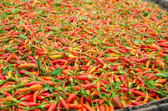 Karen chili in Thailand. Dried Karen chili on white tray It is the hottest chili in Thailand Stock Images
