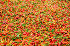 Karen chili in Thailand. Dried Karen chili on white tray It is the hottest chili in Thailand Stock Image