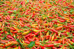 Karen chili in Thailand. Dried Karen chili on white tray It is the hottest chili in Thailand Stock Photography