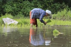 Karen farmers working on rice field Stock Images
