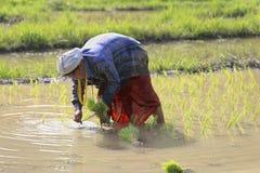 Karen farmers working on rice field Royalty Free Stock Photo