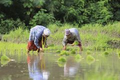 Karen farmers working on rice field Royalty Free Stock Images