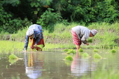 Karen farmers working on rice field Royalty Free Stock Photography