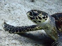 Karettschildkröte auf dem Meeresgrund stockfotos