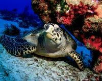 Karettschildkröte, die unter Coral Ledge in Cozumel, Mexiko stillsteht lizenzfreie stockbilder