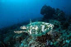 Karettschildkröteschwimmen um die Korallenriffe in Gili, Lombok, Nusa Tenggara Barat, Indonesien-Unterwasserfoto Stockfotos