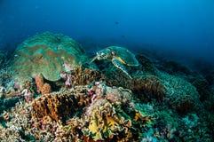 Karettschildkröteschwimmen um die Korallenriffe in Gili, Lombok, Nusa Tenggara Barat, Indonesien-Unterwasserfoto Lizenzfreie Stockfotos
