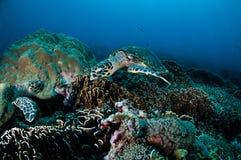 Karettschildkröteschwimmen um die Korallenriffe in Gili, Lombok, Nusa Tenggara Barat, Indonesien-Unterwasserfoto Lizenzfreie Stockfotografie